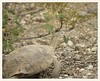 Desert Tortoise Snacking on Desert Senna (gauchocat) Tags: tucsonmountains pimacountyarizona