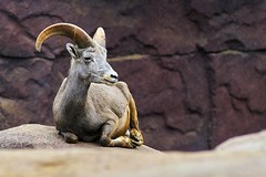 Nubian ibex (Wijnand Kroes Photography) Tags: ibex nubian goat animal rocks nature sony a77ii