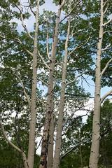 dixie forest - utah - usa - 02 (hors-saison) Tags: boulder usa utah dixie forest foret bouleaux birch tree trunk tronc