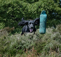 Dog Photography by Gerry Slade-2965 (Photography By Gerry Slade) Tags: dogphotographer gerryslade wwwgerrysladecouk