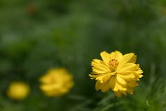 DSC02153 (Zengame) Tags: hamarikyu hamarikyugardens rx rx1 rx1r rx1rm2 rx1rmark2 sony zeiss cc cosmos creativecommons flower japan tokyo           jp