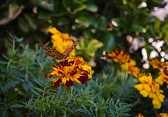 Mariposa (facundoroca) Tags: mariposa butterfly plantas flores flor naranja vuelo aire libre naturaleza only pure nikon d5100 cordoba argentina