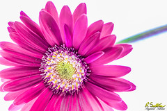 PinkGerberaBlend1.jpg (raysul) Tags: closeup beautyinmacro flower gerbera macro flowerphotography floralart decorative depthoffield