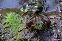 Frog (JSB PHOTOGRAPHS) Tags: jsb4717 frog deltaponds nikon tc14e nikon200500mmafsgf56evr 200500mm pond water wildlife