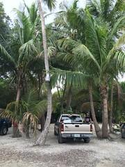 14034823_1782058542006222_6691866179063094999_n (TryKey) Tags: trykey isla islamorada 2016 octopus truck silverado 2006 robbies coconut palm tree trees tyler gravel