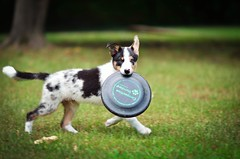 (4/52) Disc (I See BC) Tags: border collie puppy disc dog blue tri merle fetch 52 week project