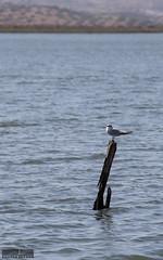 Watching the horizon (OscarCordeiro) Tags: spain ayamonte river guadiana bird
