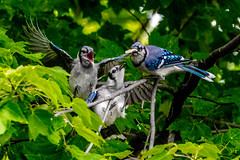 Blue Jays at Tawas Point, Michigan (michaelbbateman) Tags: bird bluejay tawaspoint wildlife easttawas michigan unitedstates us