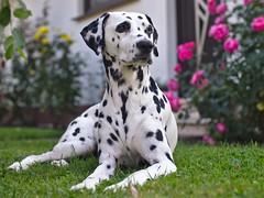 Shisana (jens.steinbeisser) Tags: hund dalmatiner haustier dog pet garten olympusepl3 canonfd50mm14lens pixcospeedboosterfocalreducer focalreducer
