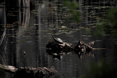 Sunning Cooters (Mike McCall) Tags: ©2016mikemccall georgia bankslake nationalwildliferefuge laniercounty nature cypress baldcypress water lake turtle landscape fineart cooter reptile