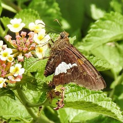 Silver Spotted Skipper Butterfly on Lantana (AngelVibePhotography) Tags: butterflies animal garden insects macro silverspottedskipper photography arthropods skipper closeup nikon nature insect nikonp900 northcarolina outdoor butterfly