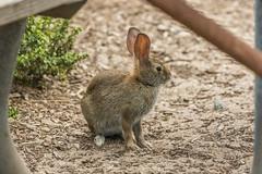 Desert Cottontail (Sylvilagus audubonii) (mojave955) Tags: california   unitedstatesofamerica northamerica usa westcoast    norcal northerncalifornia  santacruz santacruzcounty ucsc universityofcaliforniasantacruz desertcottontail cottontail rabbit  californiawildlife  canon 7dmarkii