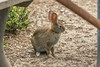 Desert Cottontail (Sylvilagus audubonii) (Charlie Lee.) Tags: california 캘리포니아 캘리포니아주 unitedstatesofamerica northamerica usa westcoast 미국 미국서부 북미 norcal northerncalifornia 산타쿠르즈 santacruz santacruzcounty ucsc universityofcaliforniasantacruz desertcottontail cottontail rabbit 토끼 californiawildlife 야생동물 canon 7dmarkii 캐논