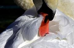 Le bec dans les plumes (Diegojack) Tags: nikon nikonpassion d7200 cygnes plumages grosplan morges oiseaux