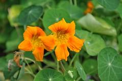 Tropaeolum majus (douneika) Tags: tropaeolum majus tropaeolaceae