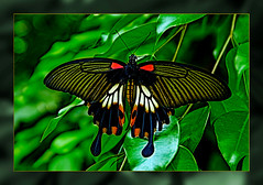 Female Mormon Butterfly  in the Garden  castle park: Sayn Bendorf (scorpion (13)) Tags: female mormon butterfly insect natural color frame photoart creativ trip visit walk plant sun summer experimental