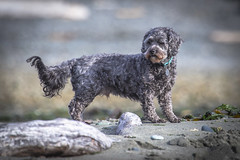 See ya buddy! RIP (Paul Rioux) Tags: gus prioux outdoor nature dog canine animal rip beach cockapoo