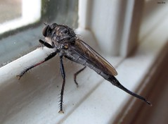 Giant Robber Fly (Side View) (Lisa Zins) Tags: lisazins tn tennessee insects tennesseeinsects bug fly robber robberfly insecta beekiller assassinfly bee killer assassin promachus diptera hexapoda arthropoda hinei promachushinei canon canonpowershot sx150 summer august 2016 macro asilidae northamerica giantrobberfly predator