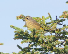 Palm Warbler (jaybirding) Tags: animal bird leicavlux114 maine me nature outdoor stormer lubec us