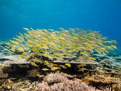 Yellowfin goatfish (2) (altsaint) Tags: 714mm egypt gf1 kingston panasonic redsea coral fish goatfish underwater
