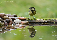 Garden 284 186 (Brian Gort Wildlife Photography) Tags: red white black yellow great tit greattit feather feathers feeding reflections reflection reflect green garden gardens gort grey grass bird brown birds brian bokeh birdwatching briangort buff beautiful branch beak blue wildlife warrington wild water wood wing eye 300mm england early nikon nature naturallight natural native cheshire catchlight colour colours colourful