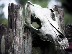 Final resting place (real ramona) Tags: berkley skull bleached fox animal death dead mort bones