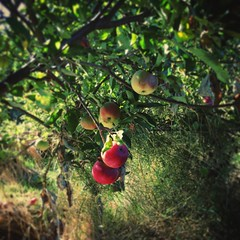 Allotment Apples (peterphotographic) Tags: london uk red instagram iphone square copyrightpeterhall eastlondon apple britain walthamstow depthoffield england