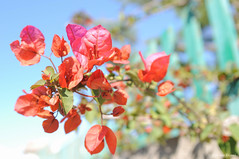 Red Passion (D:D:T: ) Tags: fiori flowers rosso red natura nature luce light day giorno air aria sun sole spring primavera freedom libert gioia happiness colors colori puglia manduria