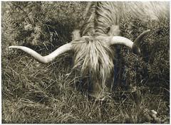 The Searching Cow (Mark Dries) Tags: markguitarphoto markdries kodakretinaiiis curtagon 35mm28 rollei rpx100 rodinal moersch easylith 10101000 lithprinting lith darkroomprint darkroom