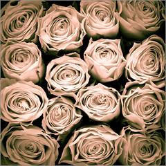 Faded Roses (mikeyp2000) Tags: rose a77ii tamron duotone art ilca77m2 flower splittone a77mk2 blackandwhite orange macro