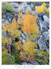 Small Aspens, Boulders (G Dan Mitchell) Tags: sierra nevada mountains eastern boulders granite small aspen trees color fall autumn yellow orange red green landscape nature bishop creek canyon california usa north america