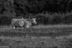 Essai noir et blanc. (Crilion43) Tags: ruminants france vreaux divers vache champ centre paysage canon herbe tamron 1200d cher objectif vaches arbres boeuf cheval ciel gnisse maison nature nuages pr rflex veau