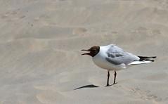 Haha... (michel1276) Tags: lachmwe mwe gull vogel bird