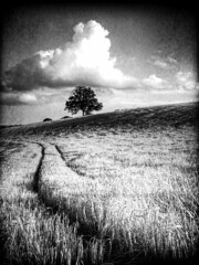 High and Mighty (RonnieLMills) Tags: road county ireland tree field barley mono nikon down lone northern textured newtownards d90 comber naturepoetry nacnud absoluteblackandwhite alwaysexc ringexcellence dblringexcellence ballyrainey photographyforrecreationbwclassic