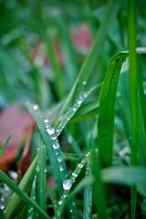 Droplets (Andr Hofmeister) Tags: autumn fall grass leaf drops hamburg herbst dew gras tau blatt tropfen eichtalpark panasoniclumixg20mmf17asph
