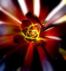 aeonium atropurpureum (ilenuca) Tags: succulent crassulaceae suculenta aeonium crasa fatplant aeoniumarboreum aeoniumschwartzkopf aeoniumatropurpureum aeoniumnigrum