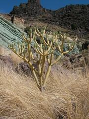 Senecio kleinia (mapa-73) Tags: grancanaria succulent asteraceae senecio macaronesia kleinia