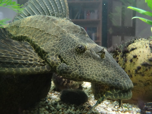 fish aquarium chilling fishtank tropical plec gibbiceps glyptoperichthys