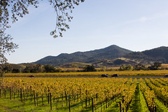 Napa in the Fall (Images by John 'K') Tags: california autumn light sunlight fall vineyard nikon vine napa winecountry johnk d600 nikond600 camerawest johnkrzesinski randomok napafallcolors