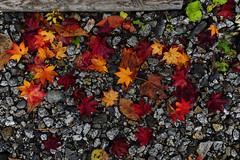 20121025 Akazawa 4 (BONGURI) Tags: forest nikon nagano forestpark 長野 akasawa 森林 森 kiso 木曽 森林公園 赤沢 d3s afszoomnikkor2470mmf28ged 木曾 赤沢自然休養林 自然休養林 akasawashizenkyuyourinpark