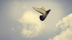 Fly... Away From Here... (nan4k7) Tags: blue sky cloud sun sunlight bird luz sol clouds fly flying pigeon paloma cielo nubes pajaro nube pjaro pajarito vuelo volando