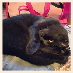 Nan. Filter: Sierra. foto: Dolci Fusa (Dolci Fusa) Tags: black cat photography diary sierra nan catnipaddicts dolcifusa instagram 52weekproject2012