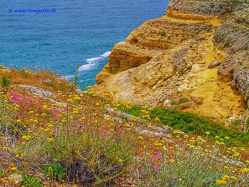 Rock Rose, Carvoeiro, Lagoa, Portugal - 1472