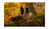 skye in woodland light (skyesam) Tags: autumn trees light skye woodland collie colours border yahoo:yourpictures=waterv2
