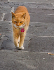 neighborhood watch (doddsjzi) Tags: orange pet cat photo sidewalk charlestonsc purposeful