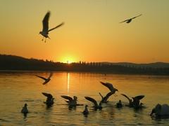 0DSCN7608 (RRT:D*:D*) Tags: sunset sky italy orange lake animal animals yellow lago swan tramonto giallo swans cielo arancio animali animale cigni cigno rrtdd
