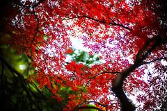 Red November (moaan) Tags: life leica color digital 50mm glow dof f10 momiji japanesemaple utata glowing swirl noctilux tinted 2012 m9 tinged colorsofautumn autumnaltints inlife leicanoctilux50mmf10  leicam9 booeh kobemunicipalarboretum swirlingautumn
