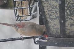 cardinal birdfeeder