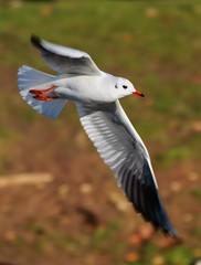 J77A0864 -- Black-headed Gull in flight, portrait (Nils Axel Braathen -- Thanks a lot for +200K views) Tags: france nature birds canon wildlife gull fugler oiseaux mke levsinet greatphotographers lachmve hettemke vogeln chroicocephalusridibundus mygearandme mygearandmepremium mygearandmebronze tplringexcellence rememberthatmomentlevel4 rememberthatmomentlevel1 rememberthatmomentlevel2 rememberthatmomentlevel3 rememberthatmomentlevel7 rememberthatmomentlevel9 rememberthatmomentlevel5 rememberthatmomentlevel6 rememberthatmomentlevel8 rememberthatmomentlevel10 moetterieuse vigilantphotographersunite vpu2 vpu3 vpu4 vpu5 vpu6 vpu7 vpu8 vpu9 vpu10