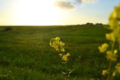 Good Morning Sunshine. (Zulina ) Tags: sky flower verde green grass yellow clouds nuvole lawn erba giallo cielo fiori fiore prato floers